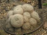 マンゲツ(満月/Mammillaria candida)