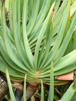 アロエ・プリカティリス(Aloe plicatilis)