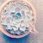 リラシナ(Echeveria lilacina)