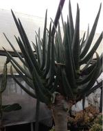 ディコトマ(Aloe dichotoma)