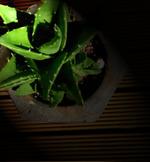 不夜城(フヤジョウ/Aloe nobilis/アロエ・ノビリス)