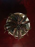 Dyckia goehringii clone × Arizona F2